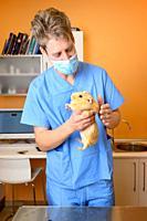 Veterinarian examining guinea pig at veterinary office. High quality photo.