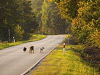 Poland. Three dog-friends on a road