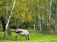 Poland. Bialowieza National Park. The Konik (polish Konik Polski) is a pony breed from Poland