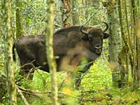Poland. Bialowieza National Park. Bison in the forest