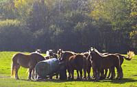 Poland. Horses drinking water