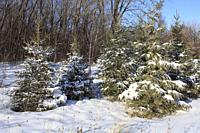 Winter, forest, snow, Montreal, Canada,.