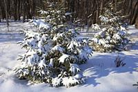 Winter, forest, snow, Montreal, Canada;.