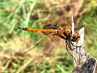 Dragonfly with see through wings at rest on piece of wood