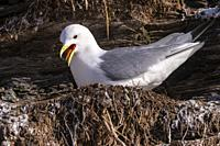 Europe, Scandinavia, Norway, Varanger Fjord, Vadso, Ekkeroy protected area with important seabird colonies including a large breeding colony of black-...