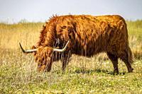 Highland cattle on island Tiengemeten, The Netherlands, Europe.