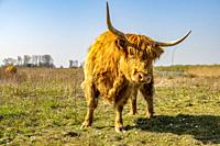 Highland cattle on island Tiengemeten, The Netherlands, Europe.