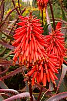 Krantz aloe (Aloe arborescens) is a succulent perennial plant native to southern Africa. Inflorescence detail.