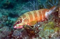 Blacktip Grouper (Epinephelus fasciatus), I Love Amed dive site, Amed, Karangasem Regency, Bali, Indonesia, Indian Ocean.