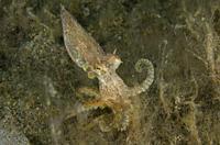 Veined Octopus (Amphioctopus marginatus), Ghost Bay dive site, Amed, Karangasem Regency, Bali, Indonesia, Indian Ocean.
