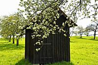 apple blossom with old barn and ladder spring in Germany.
