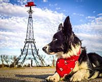 Border collie dog poses in front of Paris Texas Eiffel Tower landmark, Paris, TX.