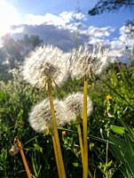 Spring landscape at sunset with four dandelions moved by the wind at Casa de Campo, MADRID, SPAIN, EUROPE.