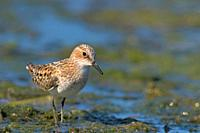 Little Stint (Calidris minuta), Crete, Greece.