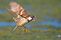 Italian Sparrow - Passer italiae, Crete.