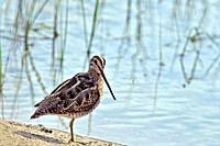 Common Snipe - Gallinago gallinago, Crete.