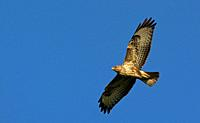 Eurasian Buzzard (Buteo buteo), Greece