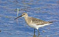 Curlew Sandpiper (Calidris ferruginea), Greece.