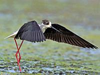 Black-winged Stilt (Himantopus himantopus), Greece.
