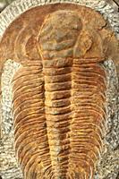 Trilobite. Fossil.