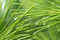 Pine leaves with droplets.