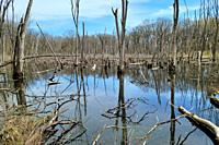 A marsh with dead trees and fallen branches at Deer Grove Forest Preserve in Palatine, IL in early spring.