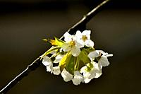 Wild cherry blossom in spring in backlit Germany.