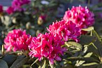 France, Brittany, Ille et Vilaine, Rhododendron in bloom in a garden.