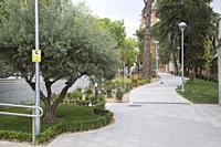 Olive Tree at Bravo Murillo Park; Madrid; Spain.