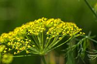 Flower of green dill (Anethum graveolens) grow in agricultural field.