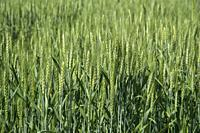 Green wheat at organic farm field.