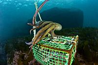 Professional fishing. Professional octopus traps.