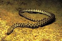 Freshwater Rivers. Viperine water snake (Natrix maura). Rio Tea. Galicia. Spain. Europe.