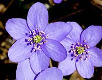 Blue anemones.