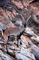 A male mountain goat (Capra hispanica) in the Sierra Javalambre. Teruel.