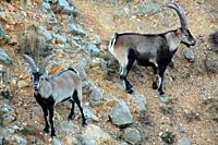Two males mountain goat (Capra hispanica) in the Sierra Javalambre. Teruel.