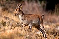 Young male mountain goat (Capra hispanica) in the Sierra Javalambre. Teruel.