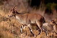 Female mountain goat (Capra hispanica) in the Sierra Javalambre. Teruel.
