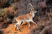 Male mountain goat (Capra hispanica) in the Sierra Javalambre. Teruel.