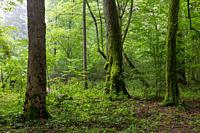 Natural deciduous tree stand with old lindwn trees and hornbeam around, Bialowieza Forest, Poland, Europe.