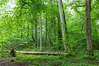 Natural deciduous tree stand with old maple trees and hornbeam around, Bialowieza Forest, Poland, Europe.