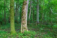 Natural mixed tree stand with some old trees,Bialowieza Forest,Poland,Europe.