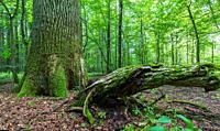 Fresh deciduous stand in summer with dead broken hornbeam tree in foreground and old oak tree in background, Bialowieza Forest, Poland, Europe.