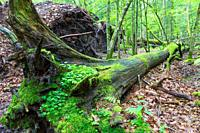 Fresh deciduous stand in summer with dead broken oak in foreground, moss and herb wrapped, Bialowieza Forest, Poland, Europe.