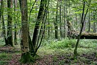 Deciduous stand with two broken oak trees lying side by side in summer, Bialowieza Forest, Poland, Europe.