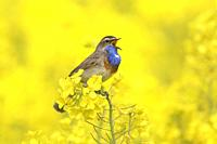 White-spotted bluethroat (Luscinia svecica cyanecula) male calling / singing in flowering rape field / rapeseed field in spring