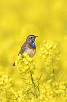 White-spotted bluethroat (Luscinia svecica cyanecula) male perched in flowering rape field / rapeseed field in spring
