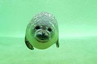 Common seal / harbour seal (Phoca vitulina) swimming underwater in basin at Seal Centre / Seehundstation Friedrichskoog, Schleswig-Holstein, Germany
