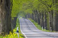 Empty road lined with silver linden / silver lime trees (Tilia tomentosa) in spring, Mecklenburg Western Pomerania, Germany