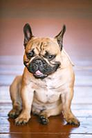 Funny Dog French Bulldog Sitting On Old Wooden Floor Indoor. The French Bulldog Is A Small Breed Of Domestic Dog.